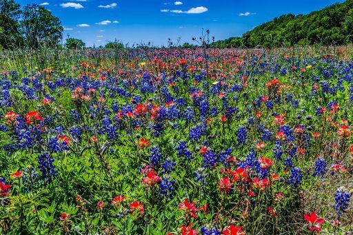 Things to do in Brenham, TX - Bluebonnets